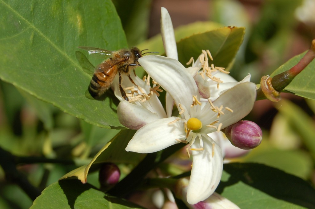 Bee On Citrus Tree