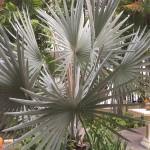 Silver palm