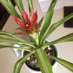 Bromeliad In room